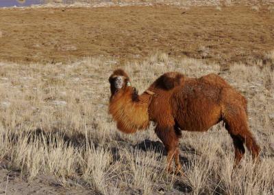 may trip camel