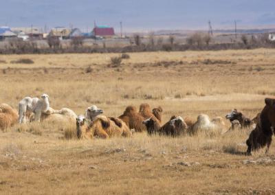 may trip camels