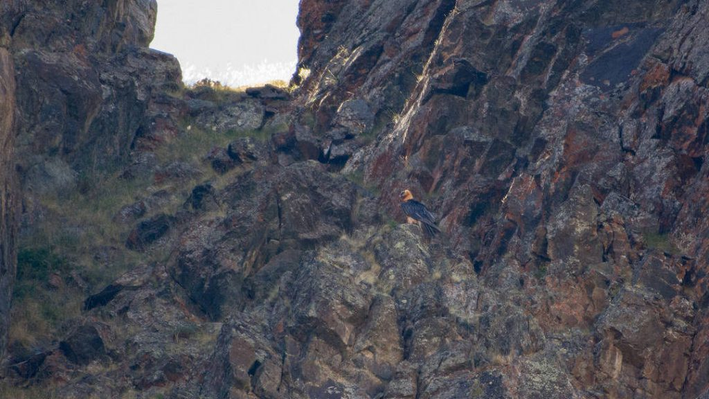 Bearded vulture sitting on the rock in Altai