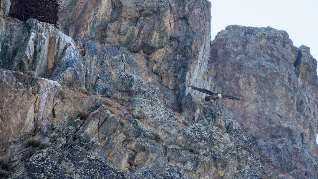 Bearded vulture flying off the nest in Altai republic