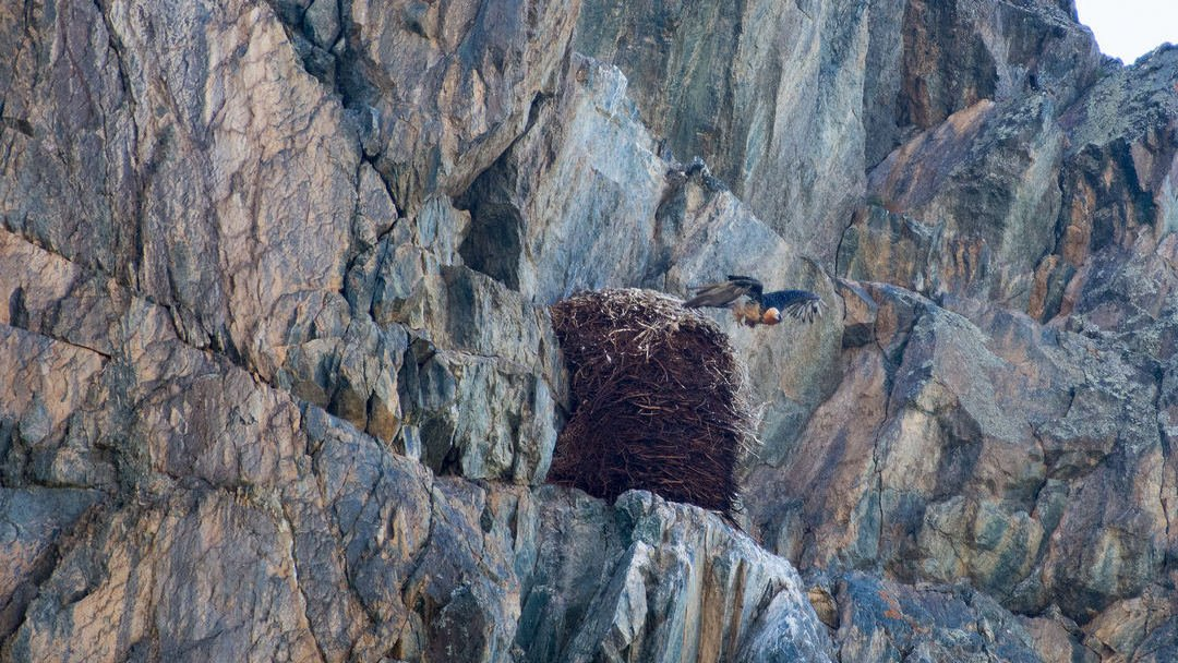 The nest and the bearded vulture on the rocks