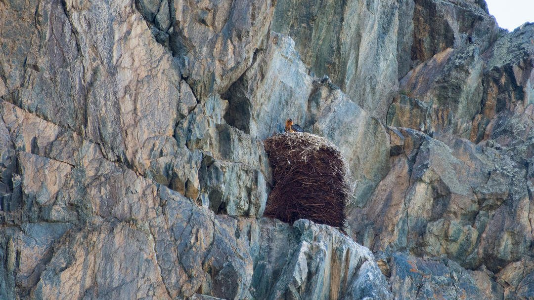 Bearded vulture in the nest in Altai mountains