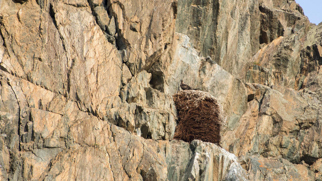 Young bearded vulture in the nest in Altai