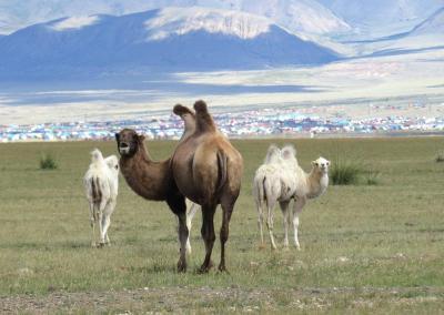Kamelen in Altai