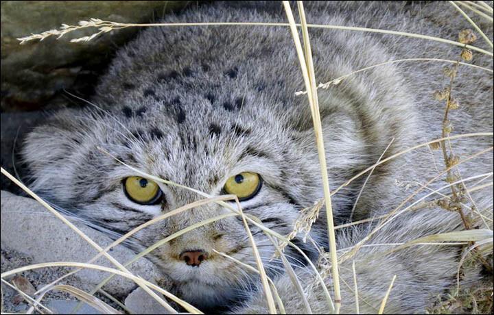 De Pallas cat of Manul