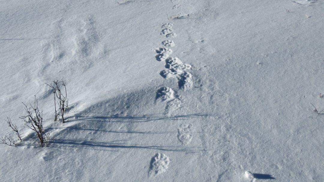 Journalisten uit de hele wereld namen deel aan sneeuwluipaard toezicht in Altai