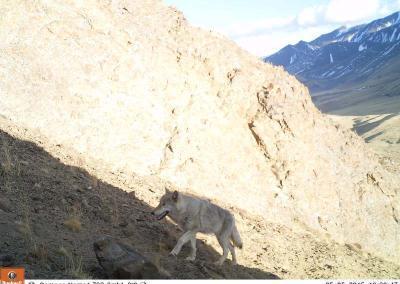 Animals in Altai tral cameras