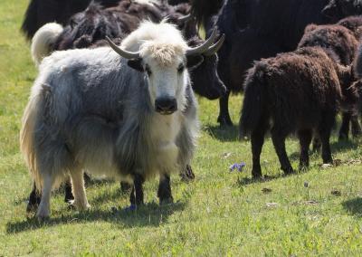 Yaks in de Altai bergen