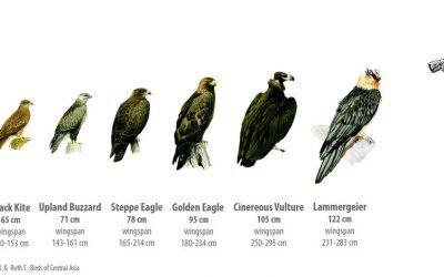 Welke roofvogels kun je tegen komen in Altai? Deel 1. Arenden