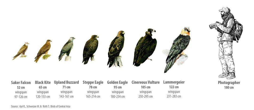 Welke roofvogels kun je tegen komen in Altai? Deel 1 ...