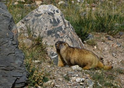 Wildlife in Altai