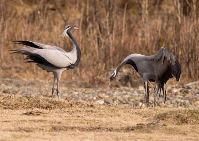 cranes in Altai