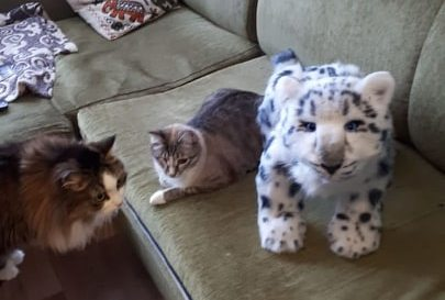 snow leopard and cats
