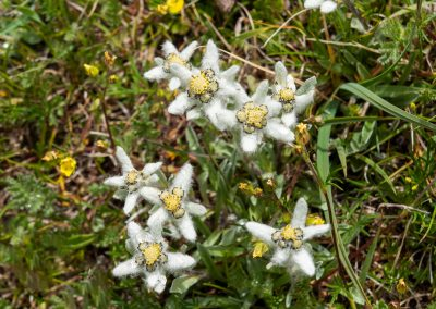 edelweiss in Altai